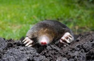 Mole in home garden - Organic Girlz Gardens Fort Wayne Indiana