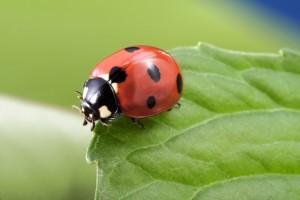ladybug - beneficial insect ~ Organic Garden Gurlz Fort Wayne