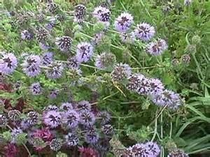 Penny Royal - Organic Gurlz Gardens Fort Wayne Indiana