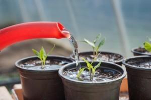 watering container plants ~ Organic Gurlz Gardens