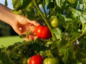Fresh tomatoes from Organic Gurlz Gardens Fort Wayne Indiana