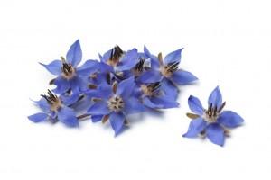 Edible Blue Borage Flower from Organic Gurlz Gardens Fort Wayne Indiana