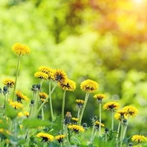 Health Benefits of Dandelions from Organic Gurlz Gardens of Fort Wayne Indiana