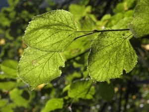 Health benefits of chlorophyll - Organic Gurlz Gardens Fort Wayne Indiana