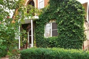 Ground ivy in garden and on house - Organic Gurlz Gardens Fort Wayne Indiana