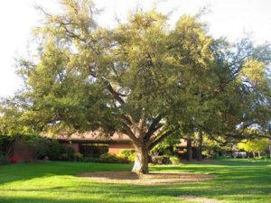 Walnut Tree - Organic Gurlz Gardens